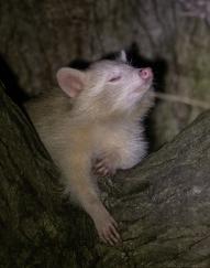 albinos-5