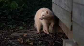 albino0918-7